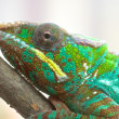 Chameleon Portrait 1 — Stock Photo #43388145