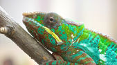 Chameleon Portrait 1 — Stock Photo
