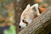 Red Panda behind a branch — Stock Photo