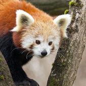 Red Panda climbing down — Stock Photo