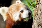 Red Panda munching bamboo — ストック写真