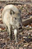 Young wild boar in the forest — Stockfoto