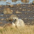 Polar Bear looking up from shore — Stock Photo