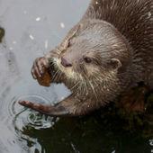Kleine krallen otter-porträt — Stockfoto
