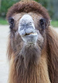 Dromedary Portrait 1 — Stock Photo