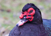 Muscovy Duck Portrait closeup — Stock Photo