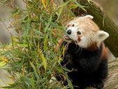 竹を食べるレッサー パンダ — ストック写真