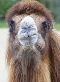 Dromedary Portrait 2 — Stock Photo