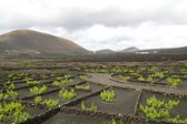 Lanzarote Vineyard 1 — Stock Photo