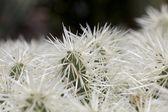White Cactus Detail — Stock Photo