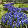 Bed of blue  hyacinths — Stock Photo #24941515
