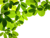 Akebia leaves and flowers on white — Stock Photo