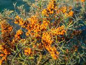 Seabuckthorn berries on the bush — Stock Photo