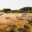 Fallow deer in dunes — Stock Photo