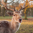 Portrait of a fallow deer — Stock Photo