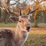 Portrait of a fallow deer — Stock Photo #38740965