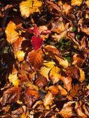 Autumn Beach Leaves — Stock Photo