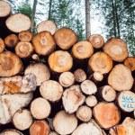 Freshly felled logs — Stock Photo #39839497