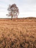 Winter birch on heathland — Stock Photo
