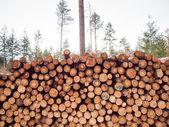 Freshly felled logs — Stock Photo