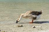 L'Oie sur le lac — Photo