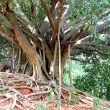 Stock Photo: Banyan