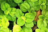 Mint — Stock Photo