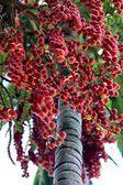 Betel palm — Stock Photo