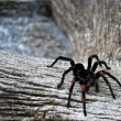 Stock Photo: Tarantula