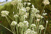 Chive with white flowers — Stock Photo