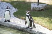 Pé de pinguim — Foto Stock