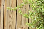Crassula ovata oder geld baum — Stockfoto