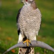 Stock Photo: The portrait of Northern Goshawk, Accipiter gentilis