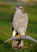 The portrait of Northern Goshawk, Accipiter gentilis — Stock Photo