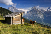 Swiss cow with large hills in the background — Stock Photo