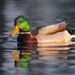 Duck in water — Stock Photo #18436159