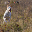 White pointer on jump in hunting — Stock Photo