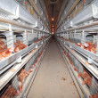 Royalty-Free Stock Photo: Chicken farm - interior