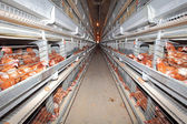Chicken farm - interior — Stock Photo