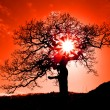 Old oak in sunset with sun — Stock Photo