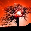 Old oak in sunset with sun - Stock Photo
