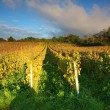 Stock Photo: Rows of vines to sunset
