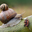Stock Photo: Two snails on leaf. (Helix pomatiand Cepaevindobonensis)