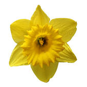 Pretty yellow daffodils on white background isolated — Stock Photo