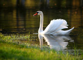 Swan in water at spring — Stock Photo