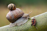 Two snails on leaf. (Helix pomatia and Cepaea vindobonensis) — Stock Photo
