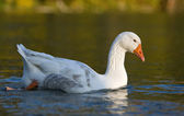 Goose floating on water — Stock Photo
