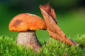Big fungus with Red-capped — Stock Photo