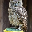 Close up of a Tawny Owl Strix aluco - Stock Photo