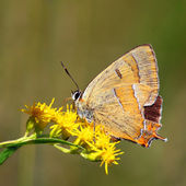 Butterfly - Thecla betulae — Stock Photo